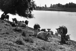 1955. Szeged, Újszegedi Tisza-part. A túlparton a Tisza Lajos (Lenin) körút - Korányi Sándor fasor találkozásánál az Orvostudományi Egyetem épületei.