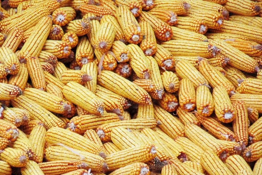 kukorica_tengeri