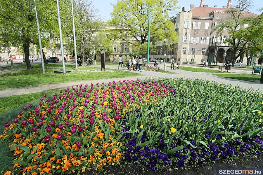 aradi_tulipan10_gs