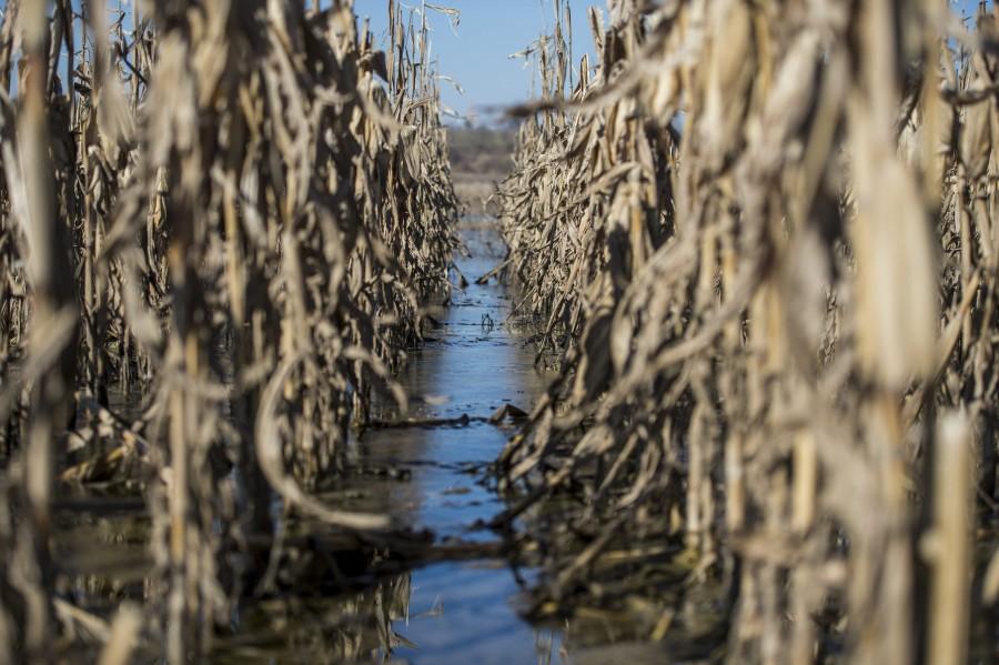 Belvíz - Elöntött kukoricaföld Szekszárdnál