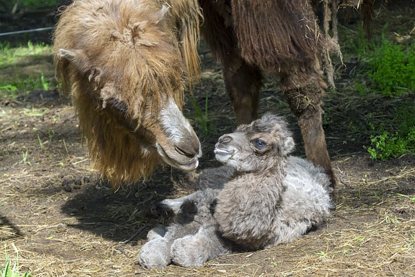 Bactrian camel (Camelus bactrianus) baby shortly after birth and its mother
