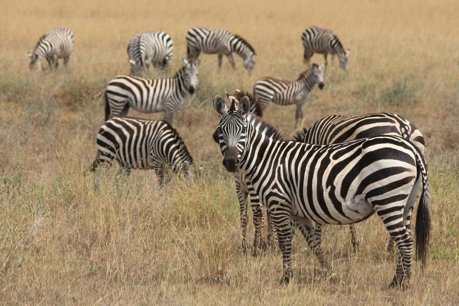 zebra_afrika_termeszet