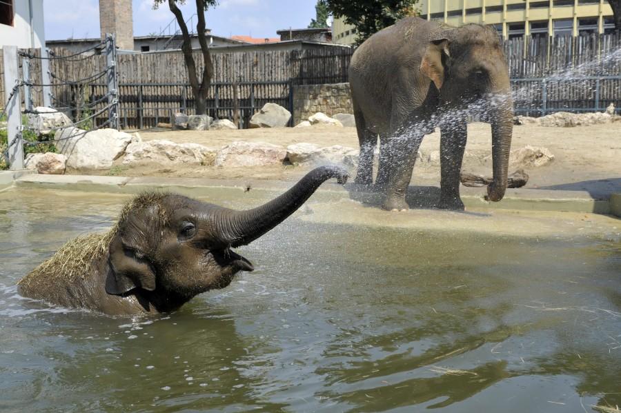 Hõség - Elefántok fürdenek a fõvárosi állatkertben