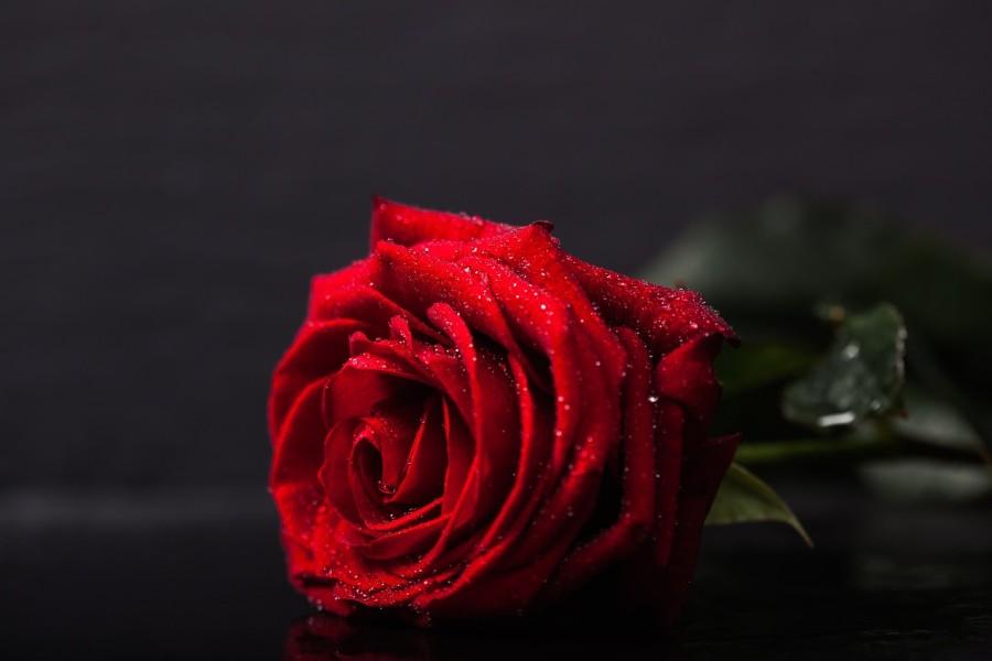 rozsa_virag_szerelem_valentin