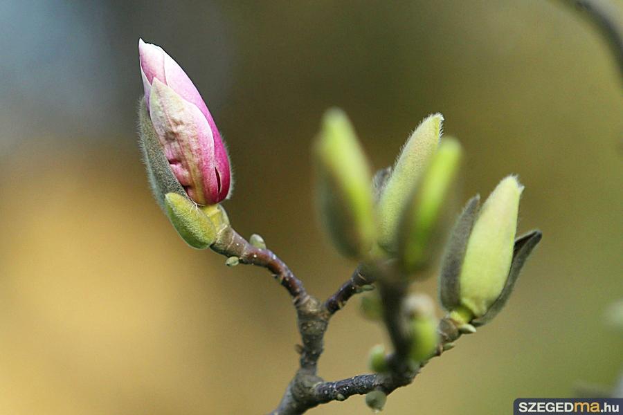 magnolia01_gs