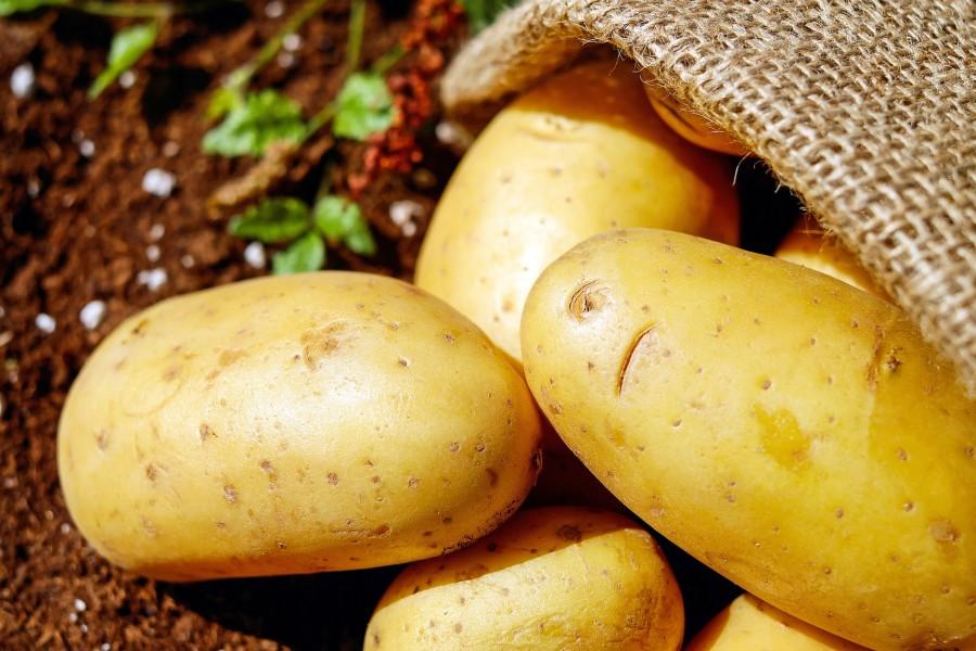 krumpli_burgonya_mezogazdasag