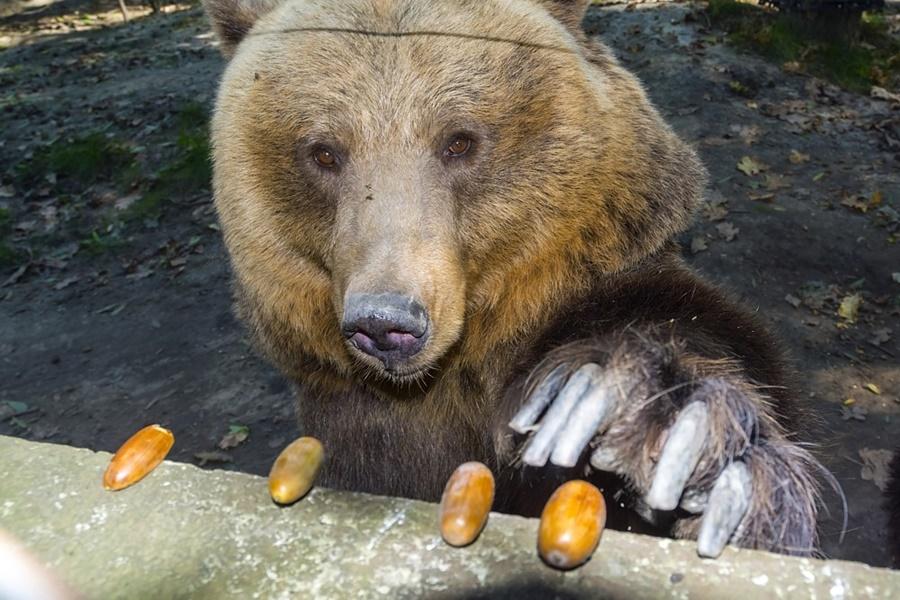Brown bear (Ursus arctos) is eating oak acorn