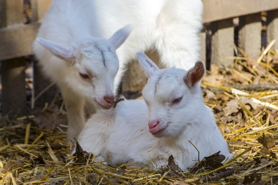 Domestic goad kids - Capra hircus - in a farmyard