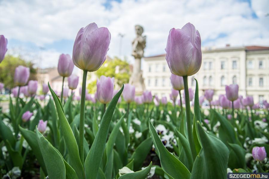 tulipanok009kf