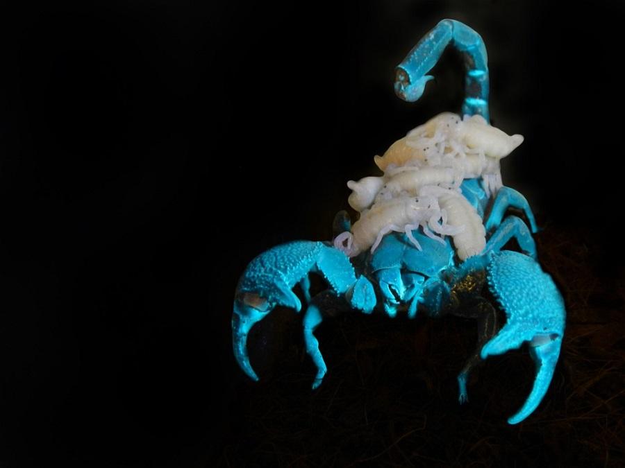 Emperor scorpion - Pandinus imperator - mother and her babies under UV-lights