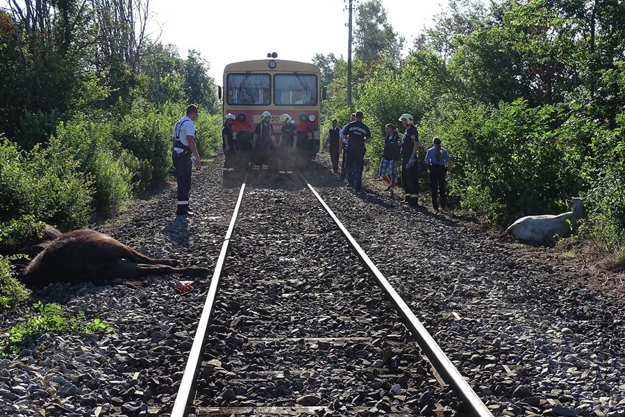 Hét tehenet gázolt el egy vonat Csongrád közelében