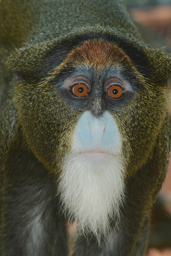 szakallas_majom